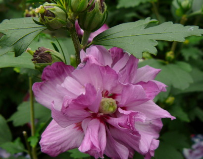 Hibiscus syriacus 'Ardens' op stam - altheastruik, heemstroos