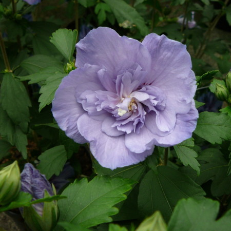 Hibiscus syriacus 'Blue Chiffon' - altheastruik, heemstroos