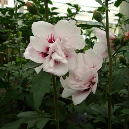 Hibiscus syriacus 'Lady Stanley' - altheastruik, heemstroos