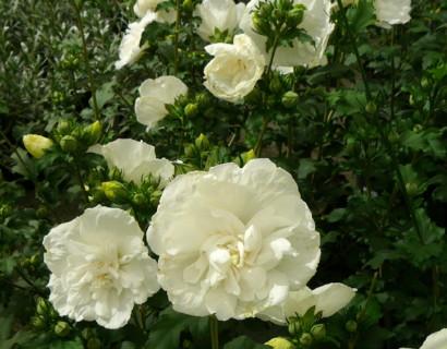 Hibiscus syriacus 'White Chiffon' - altheastruik, heemstroos