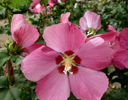 Hibiscus syriacus 'Woodbridge' - altheastruik, heemstroos