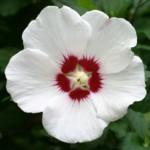 Hibiscus of altheastruik met opvallende bloemen.