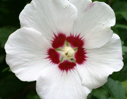 Hibiscus syriacus 'Red Heart' - altheastruik, heemstroos