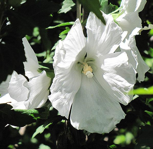 Hibiscus syriacus 'William R. Smith' op stam - altheastruik, heemstroos
