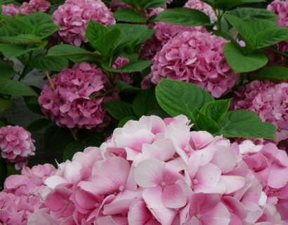 Hydrangea macrophylla 'King George V' pot 2 liter - hortensia