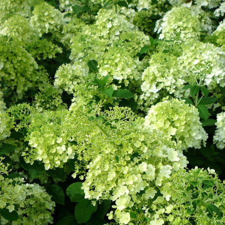hydrangea paniculata 39 bobo 39 pluimhortensia kopen mar chal. Black Bedroom Furniture Sets. Home Design Ideas