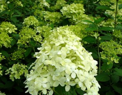 Hydrangea paniculata 'Limelight' pot 3 liter