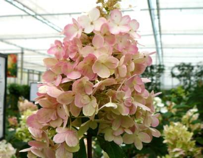 Hydrangea paniculata 'Pinky Winky' pot halfstam