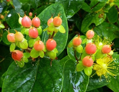 Hypericum inodorum 'Magical Beauty' - hertshooi