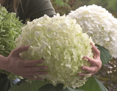 Hydrangea 'Incrediball' of 'Strong Annabelle' pot 3 liter