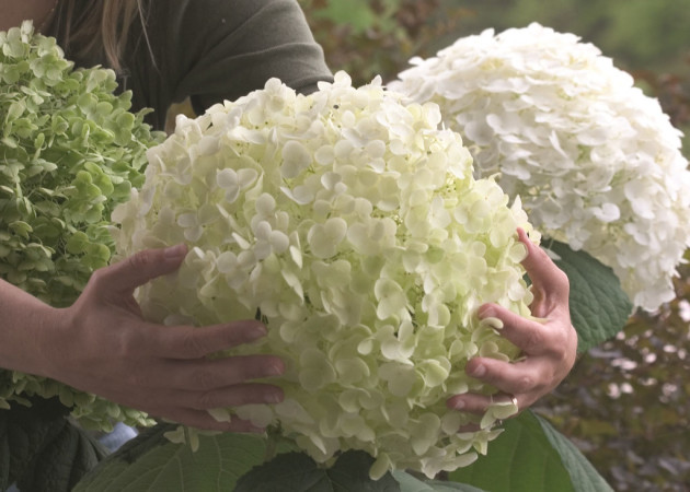Hydrangea 'Incrediball' of 'Strong Annabelle' - hortensia