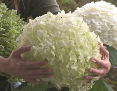 Hydrangea 'Incrediball' of 'Strong Annabelle'