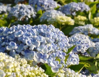 Hydrangea macrophylla 'Ayesha' blauw