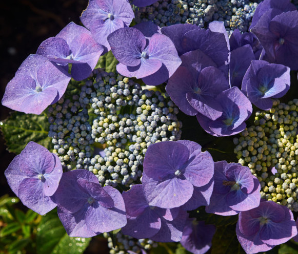Hydrangea macrophylla 'Blaumeise' pot 1.3 liter - hortensia
