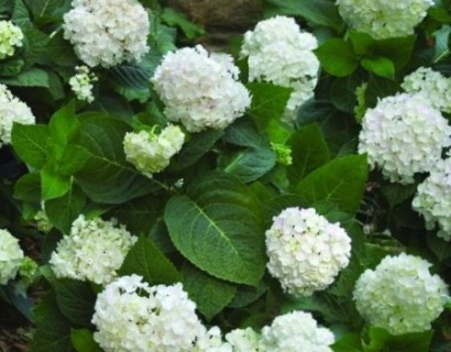 Hydrangea Endless Summer 'The Bride'