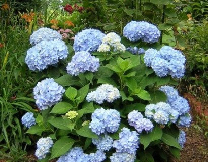 Hydrangea Endless Summer 'The Original' blauw