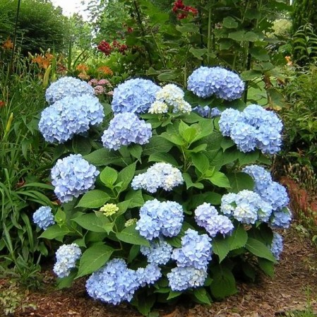Hydrangea Endless Summer 'The Original' blauw - hortensia