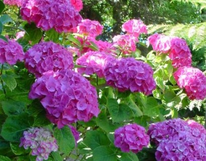 Hydrangea macrophylla 'Gertrud Glahn'