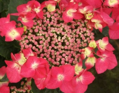 Hydrangea macrophylla 'Kardinal' - hortensia