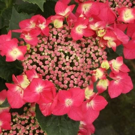 Hydrangea macrophylla 'Kardinal' pot 2 liter