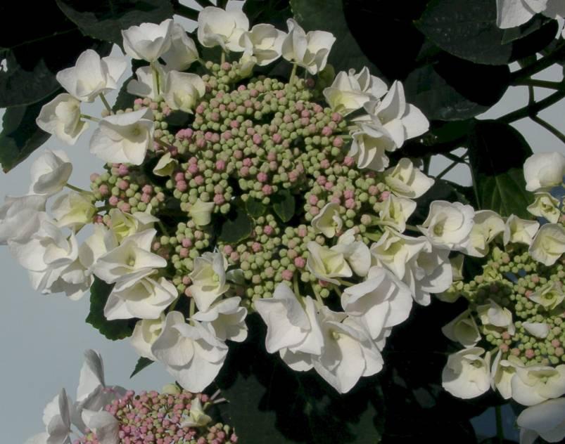 Hydrangea macrophylla 'Libelle' - hortensia