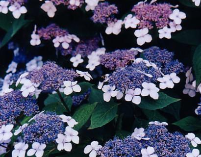 Hydrangea macrophylla 'Mariesii Perfecta' - hortensia