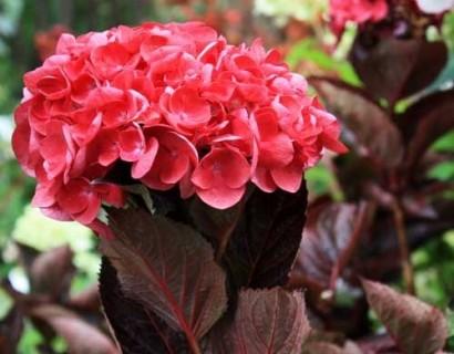 Hydrangea macrophylla 'Merveille Sanguine' - hortensia