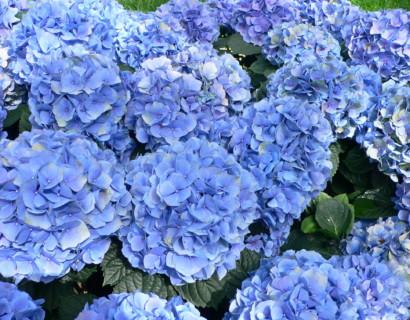 Hortensia snoeien. Hoe snoei ik mijn Hydrangea 'Annabelle', paniculata, macrophylla?