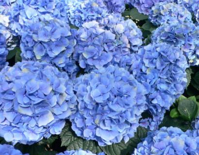 Hydrangea macrophylla 'Nikko Blue' pot 3 liter