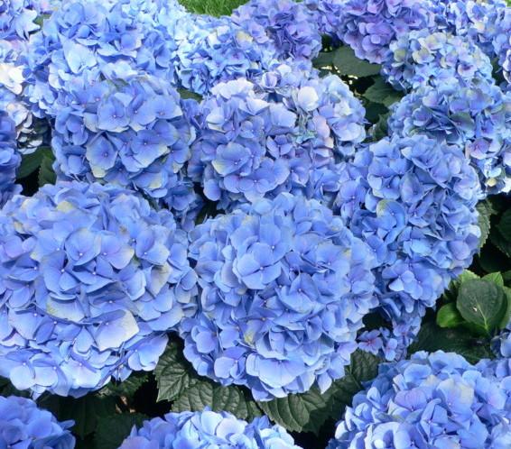 Hydrangea macrophylla 'Nikko Blue' pot 1.3 liter