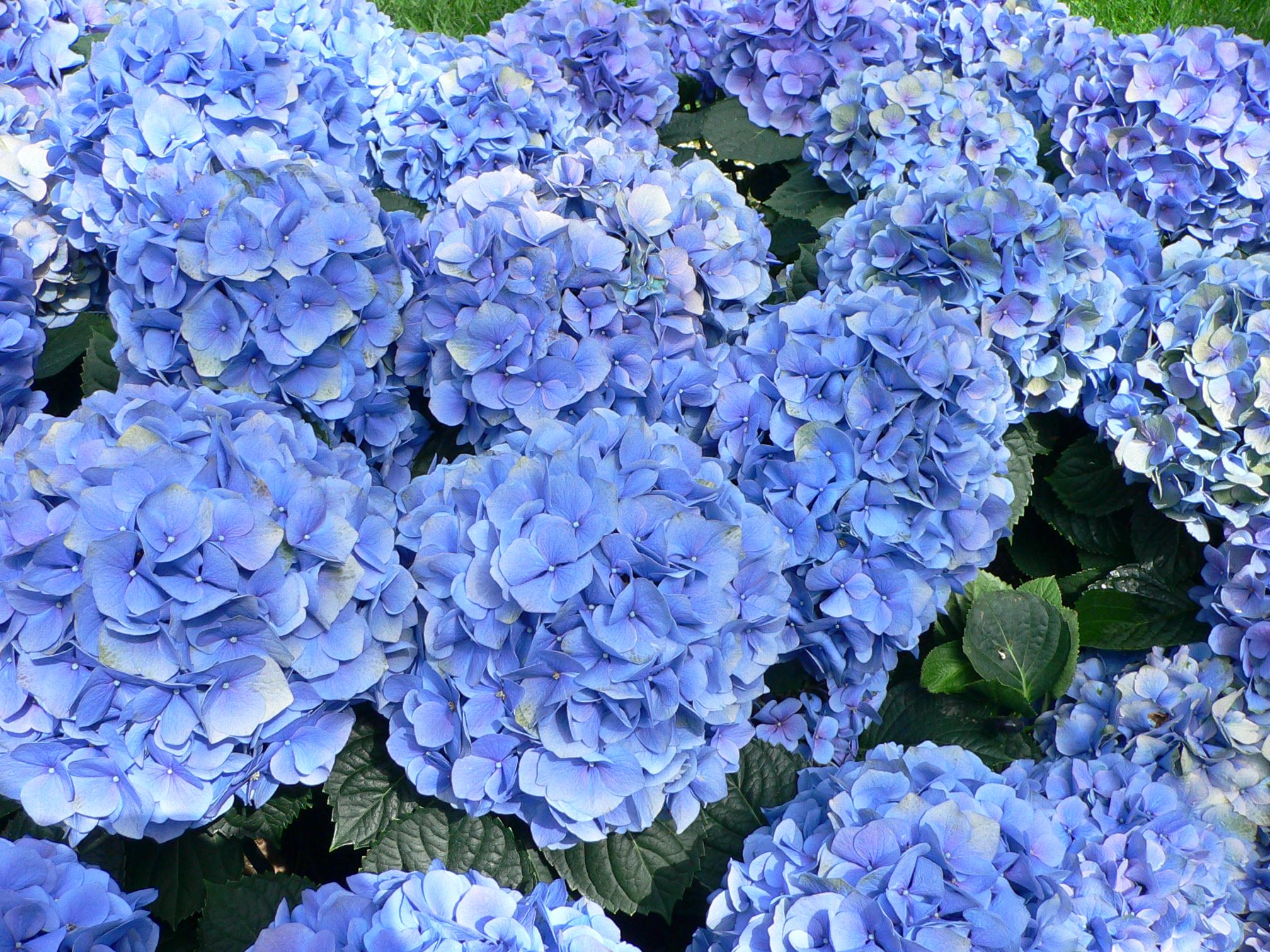 Hydrangea macrophylla 'Nikko Blue' - hortensia