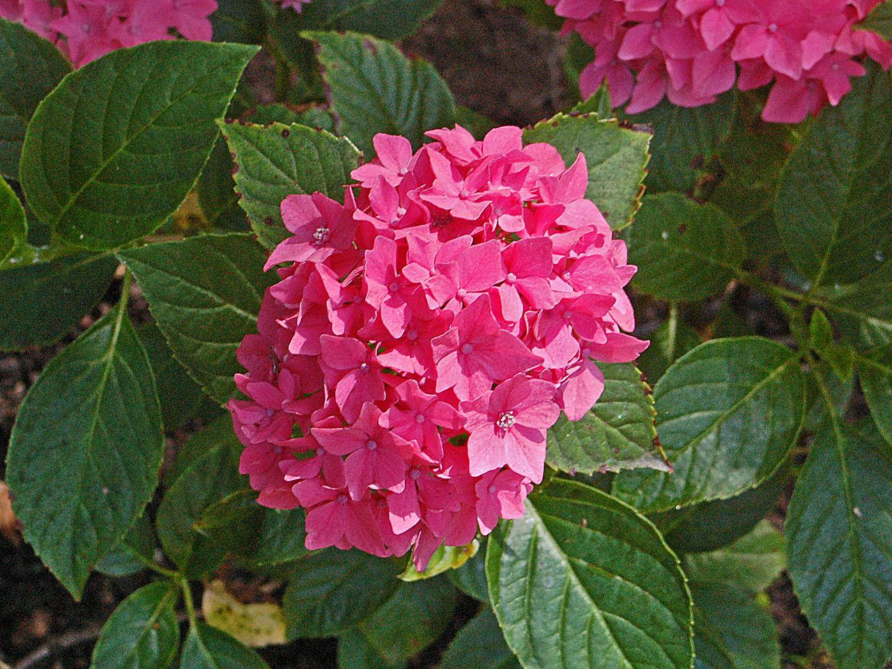 Hydrangea macrophylla 'Pia' - hortensia