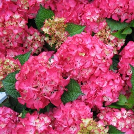 Hydrangea macrophylla 'Selma' - hortensia