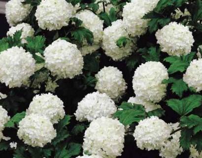 Hydrangea macrophylla 'Sneeuwbal'