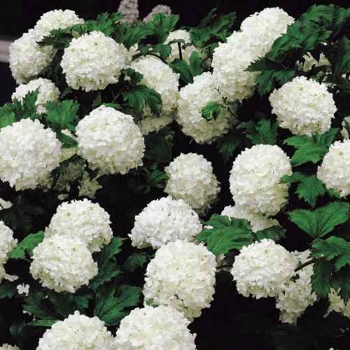 Hydrangea macrophylla 'Sneeuwbal' - hortensia