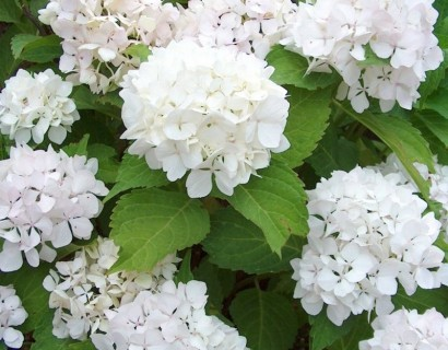 Hydrangea macrophylla 'Soeur Thérèse' - hortensia