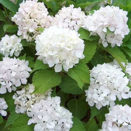 Hydrangea macrophylla 'Soeur Therese' pot 3 liter