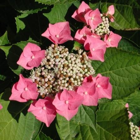 Hydrangea macrophylla 'Taube' - hortensia
