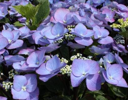 Hydrangea macrophylla 'Zorro' blauw