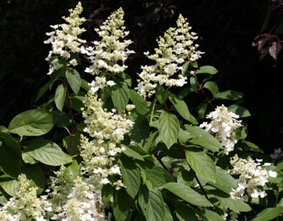 Hydrangea paniculata 'Kyushu' op stam - pluimhortensia