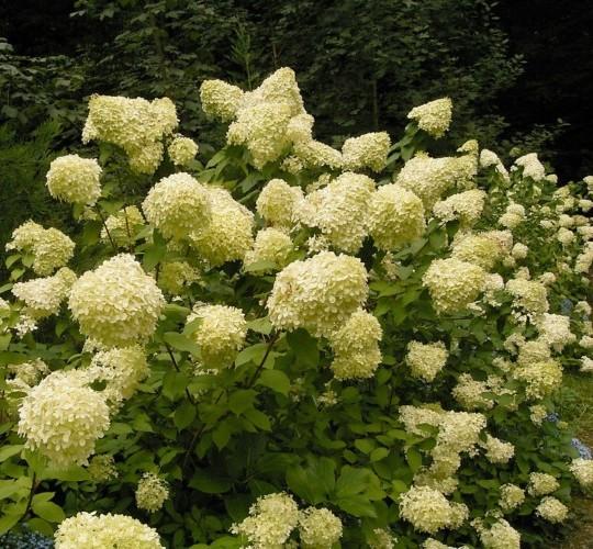 Hydrangea paniculata 'Phantom' - schapenkop-hortensia
