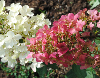 Hydrangea paniculata 'Pinky Winky' pot 3 liter - schapenkop-hortensia