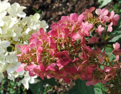 Hydrangea paniculata 'Pinky Winky' - schapenkop-hortensia