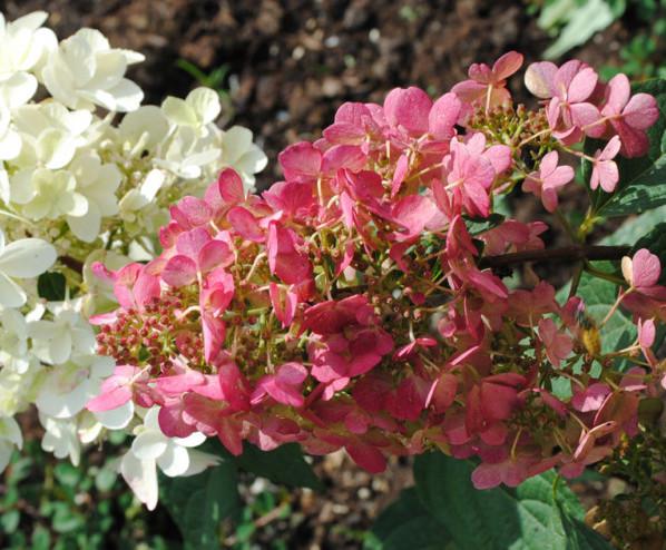 Hydrangea paniculata 'Pinky Winky' pot 3 liter