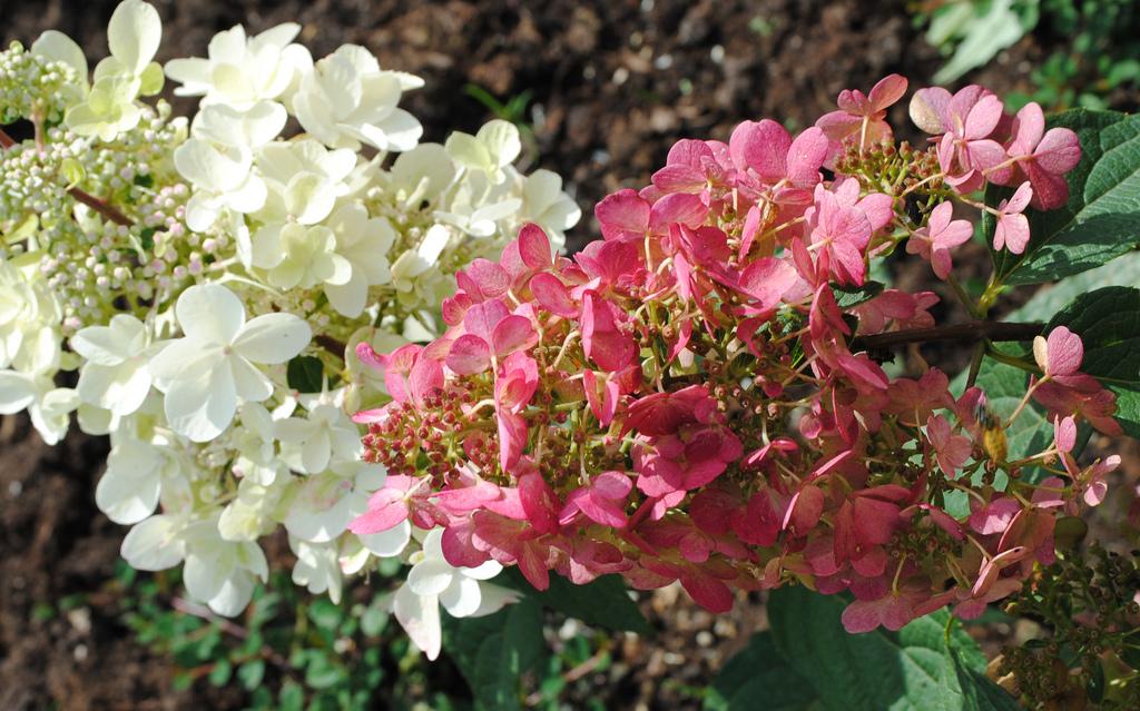 Hydrangea paniculata 'Pinky Winky'.