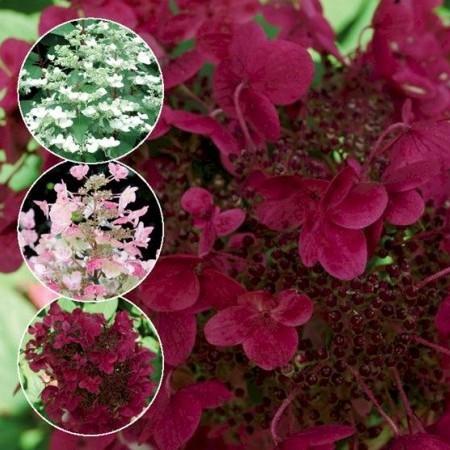 Hydrangea paniculata 'Wim's Red' - Pluimhortensia