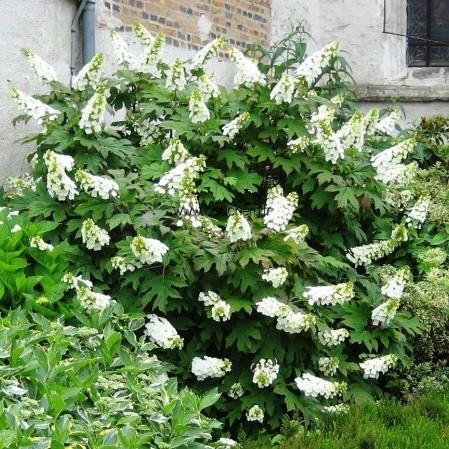 Hydrangea quercifolia 'Snow Queen' - eikenbladhortensia