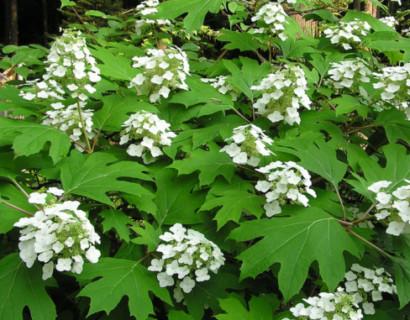 Hydrangea quercifolia - eikenbladhortensia