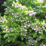 Vele soorten hortensia (Hydrangea) voor bloemen in de tuin.