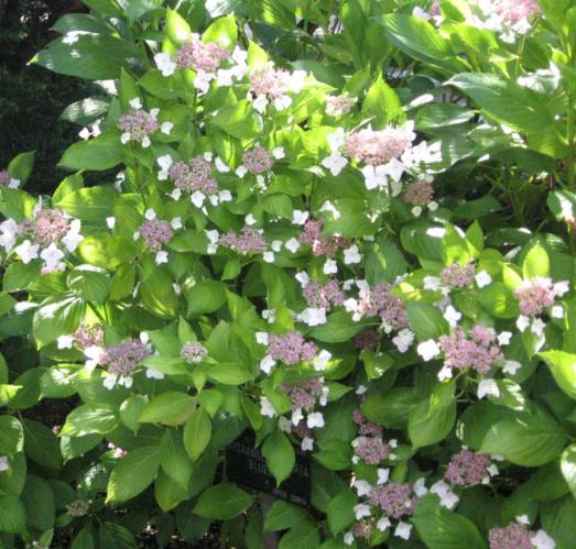 Hydrangea serrata 'Bluebird' - hortensia